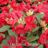 dr.ernst shäle, rhododendron, dværgrhododendron, surbundsplanter, købe rhododendron, rhododendron planteskole, basta planter, lav rhododendron, stedsegrønne, rhododendronbed