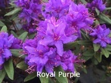 Rhododendron russatum Royal Purple