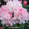 dreamland, rhododendron, mellemstore rhododendron, surbundsplanter, købe rhododendron, rhododendron planteskole, basta planter, rhododendron, stedsegrønne, rhododendronbed