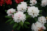 falling snow, rhododendron, mellemstore rhododendron, surbundsplanter, købe rhododendron, rhododendron planteskole, basta planter, rhododendron, stedsegrønne, rhododendronbed
