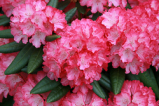 fantastica, rhododendron, mellemstore rhododendron, surbundsplanter, købe rhododendron, rhododendron planteskole, basta planter, rhododendron, stedsegrønne, rhododendronbed
