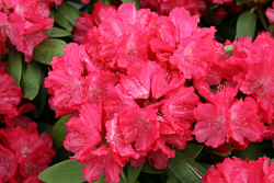 morgenrot, rhododendron, mellemstore rhododendron, surbundsplanter, købe rhododendron, rhododendron planteskole, basta planter, rhododendron, stedsegrønne, rhododendronbed