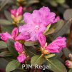 p.j.m regal, rhododendron, mellemstore rhododendron, surbundsplanter, købe rhododendron, rhododendron planteskole, basta planter, rhododendron, stedsegrønne, rhododendronbed