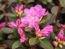 p.j.m. regal, rhododendron, mellemstore rhododendron, surbundsplanter, købe rhododendron, rhododendron planteskole, basta planter, rhododendron, stedsegrønne, rhododendronbed