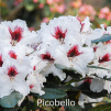picobello, rhododendron, mellemstore rhododendron, surbundsplanter, købe rhododendron, rhododendron planteskole, basta planter, rhododendron, stedsegrønne, rhododendronbed