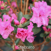 staccato, rhododendron, mellemstore rhododendron, surbundsplanter, købe rhododendron, rhododendron planteskole, basta planter, rhododendron, stedsegrønne, rhododendronbed